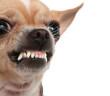 Angry chihauhua